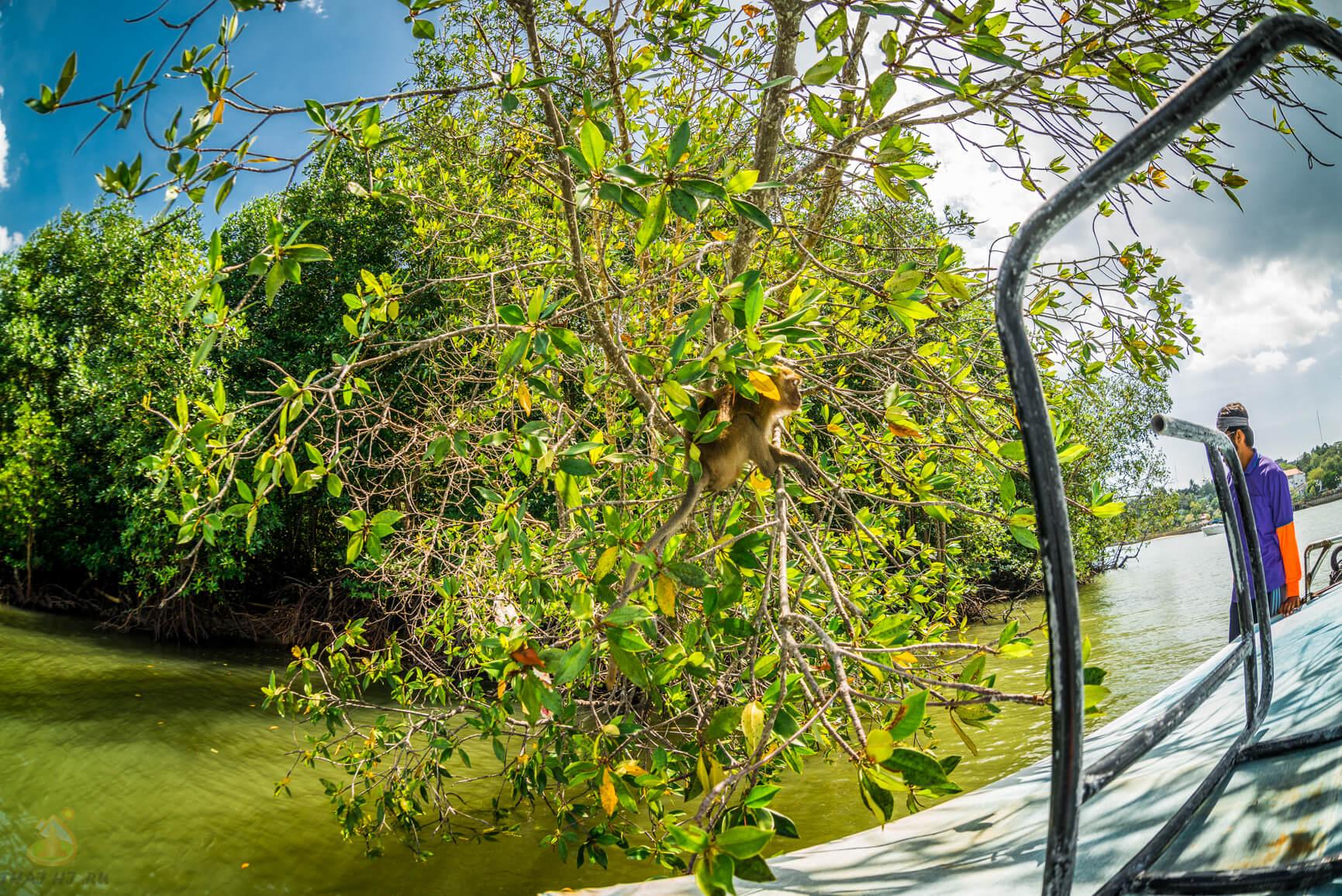 Обезьянки в мангровых зарослях