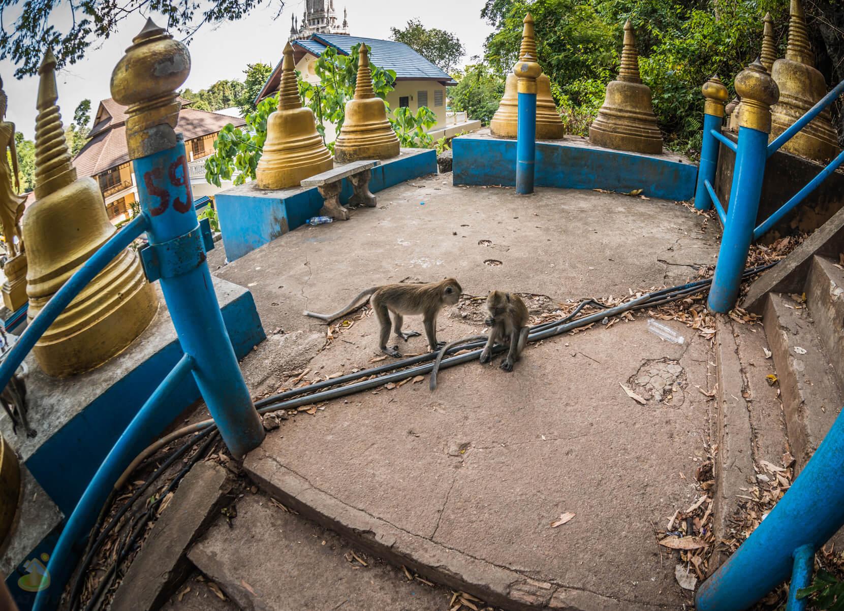 Фото диких обезьян возле WAT THAM SUA