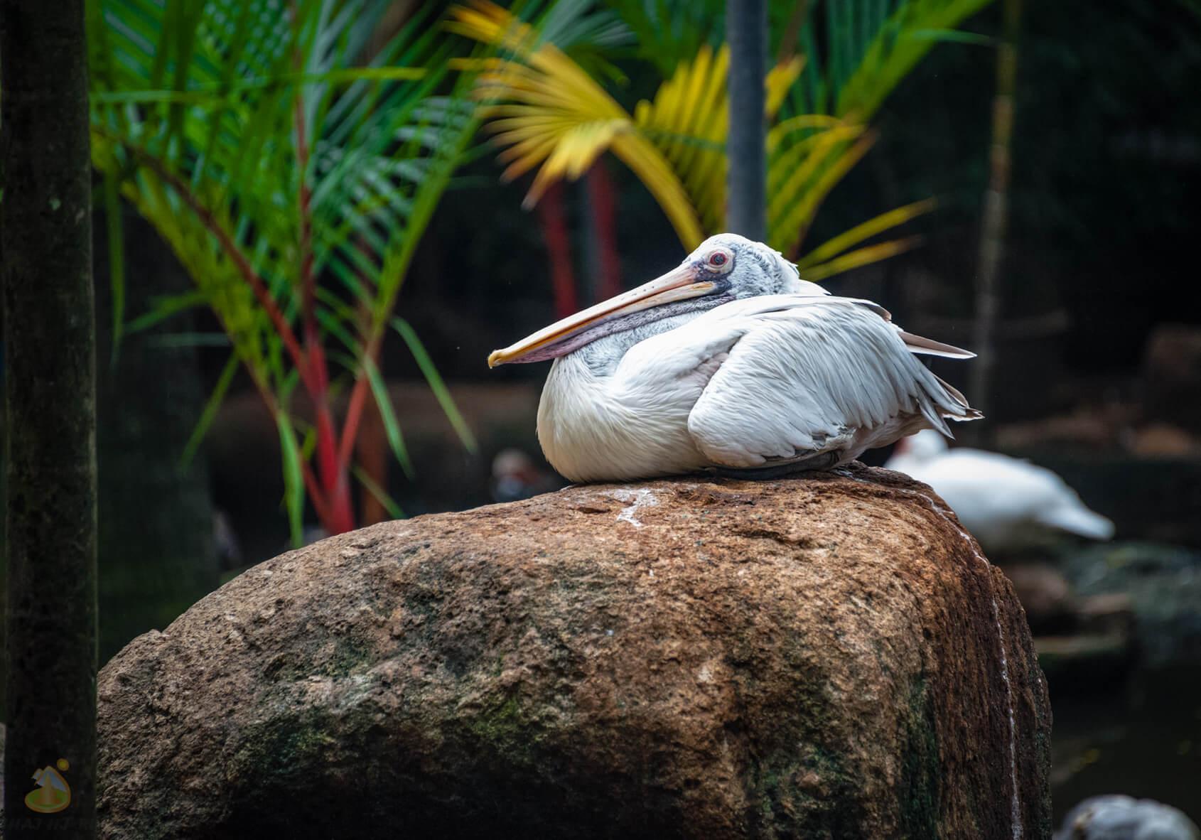 Пеликаны в саду Nong Nooch