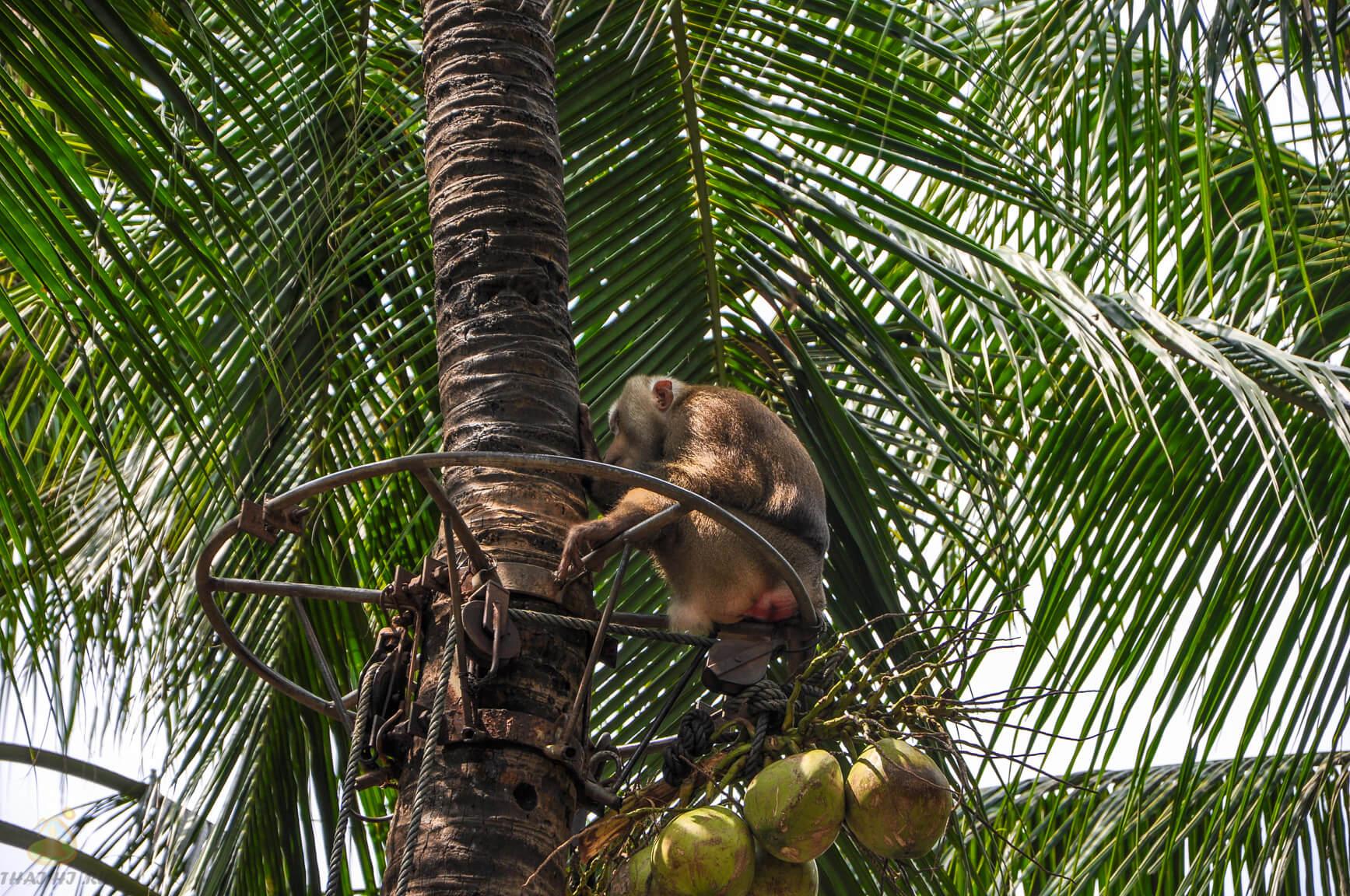 Пальма и обезьяна в Nong Nooch