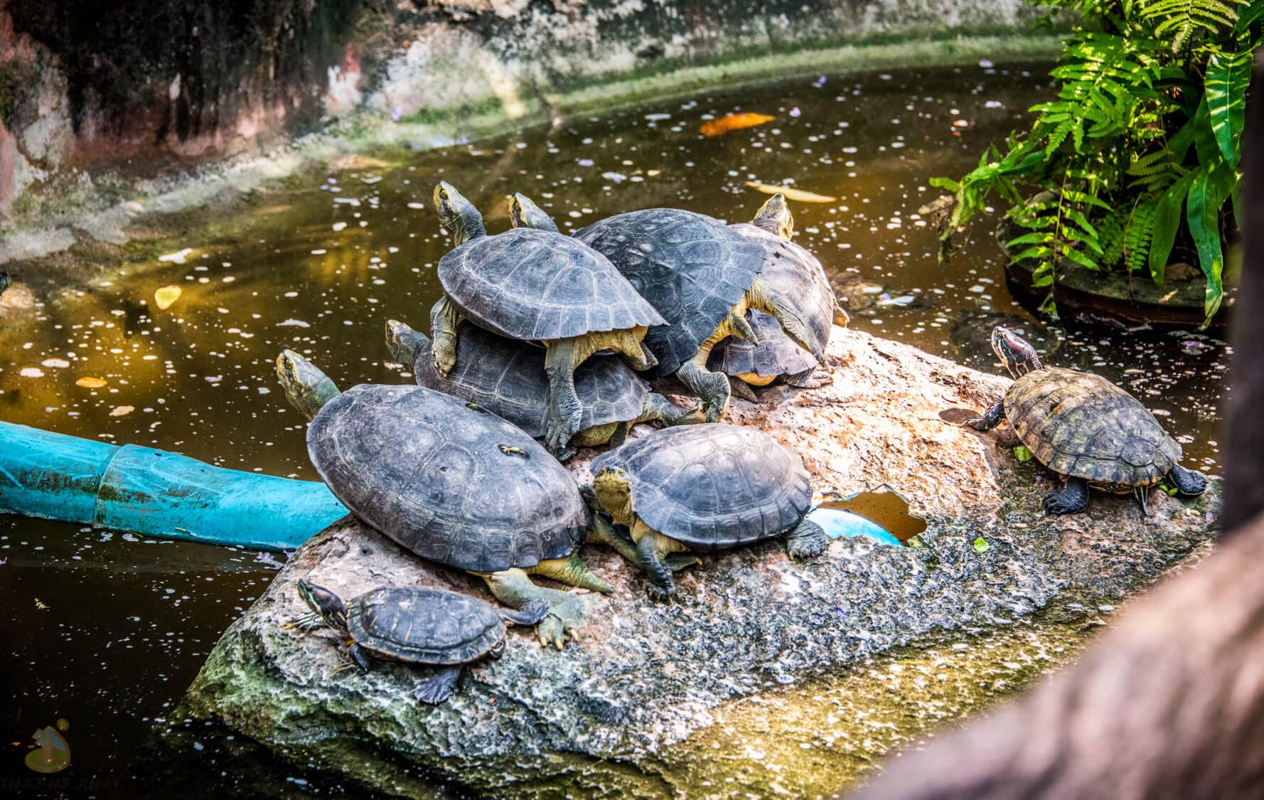 Фотография черепах в Nong Nooch