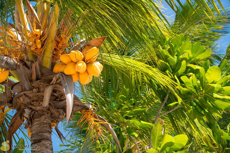 Пляж Патонг на Пхукете - кокосы