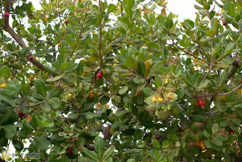 Дерево кешью Таиланд Пхукет
