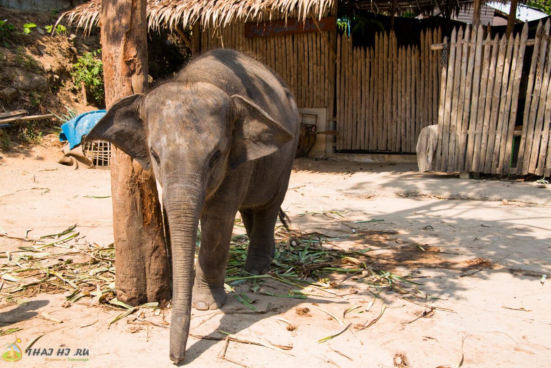Слоны на Пхукете, Тайланд