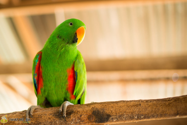 Красивый попугай на Пхукете