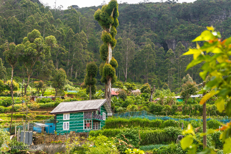 Деревья на Шри-Ланке
