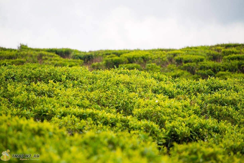 Чайные плантации в Нувара-Элия