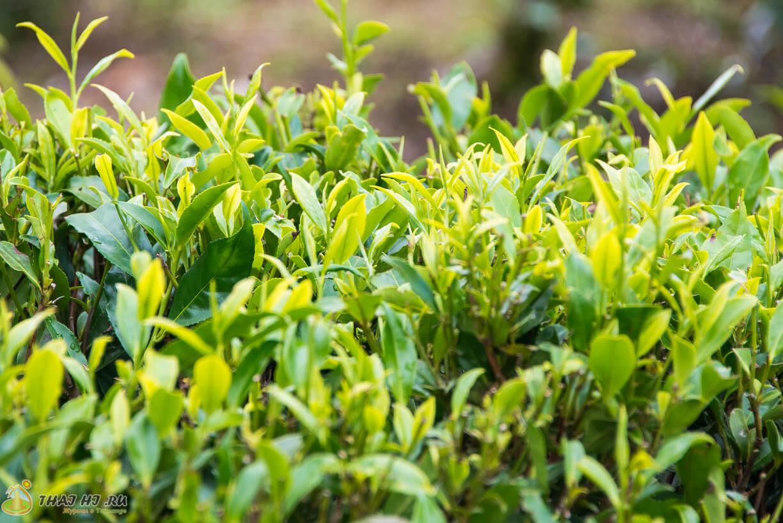 Чай кусты в Нувара-Элия