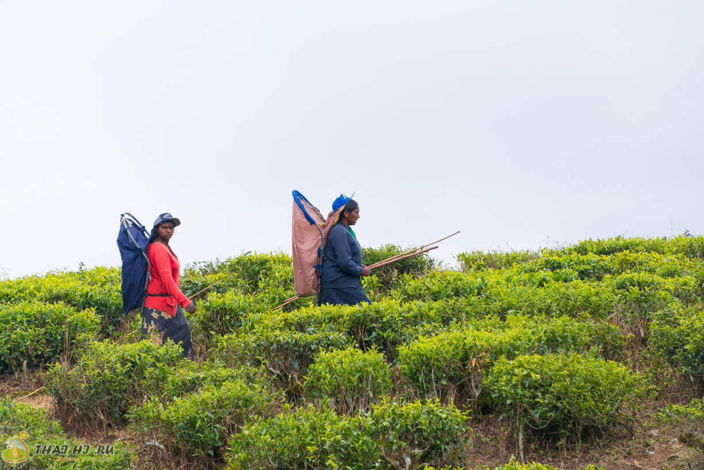 Сборщики чая в Нувара-Элии