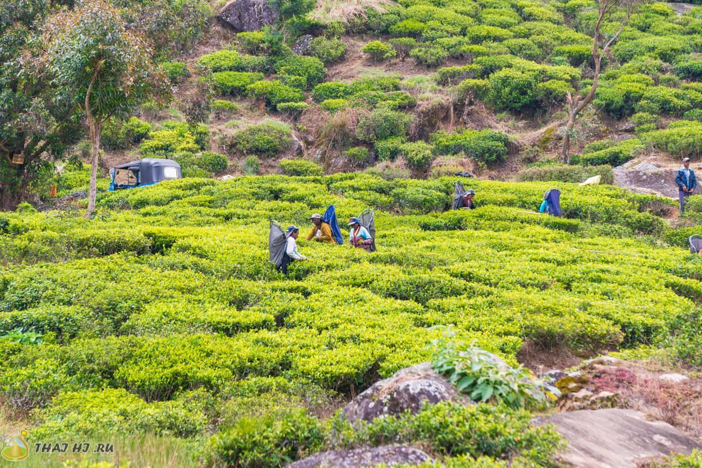 Сборщики чая на Шри-Ланке в Нувара-Элии