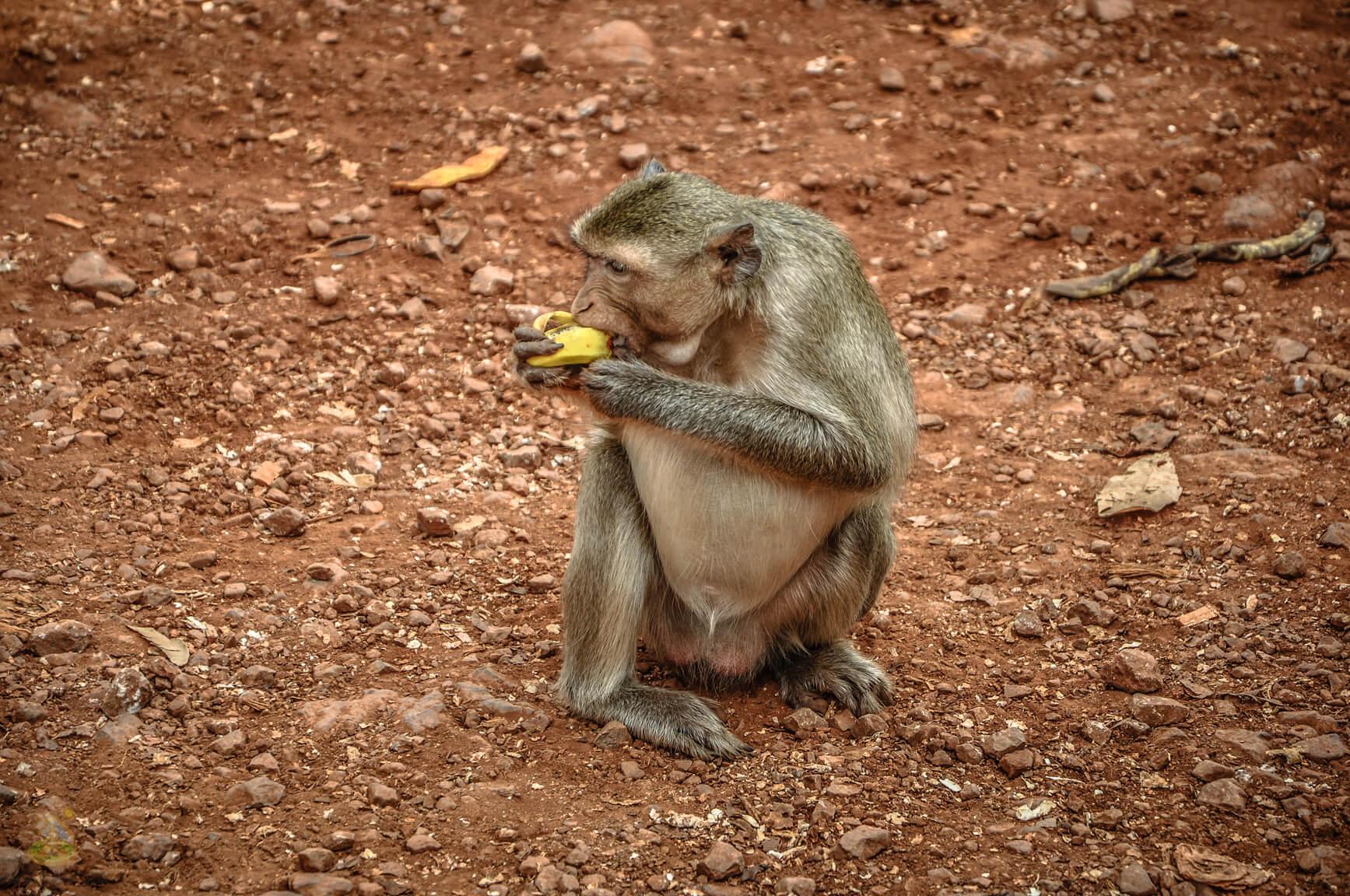 Дикие обезьяны, Квай
