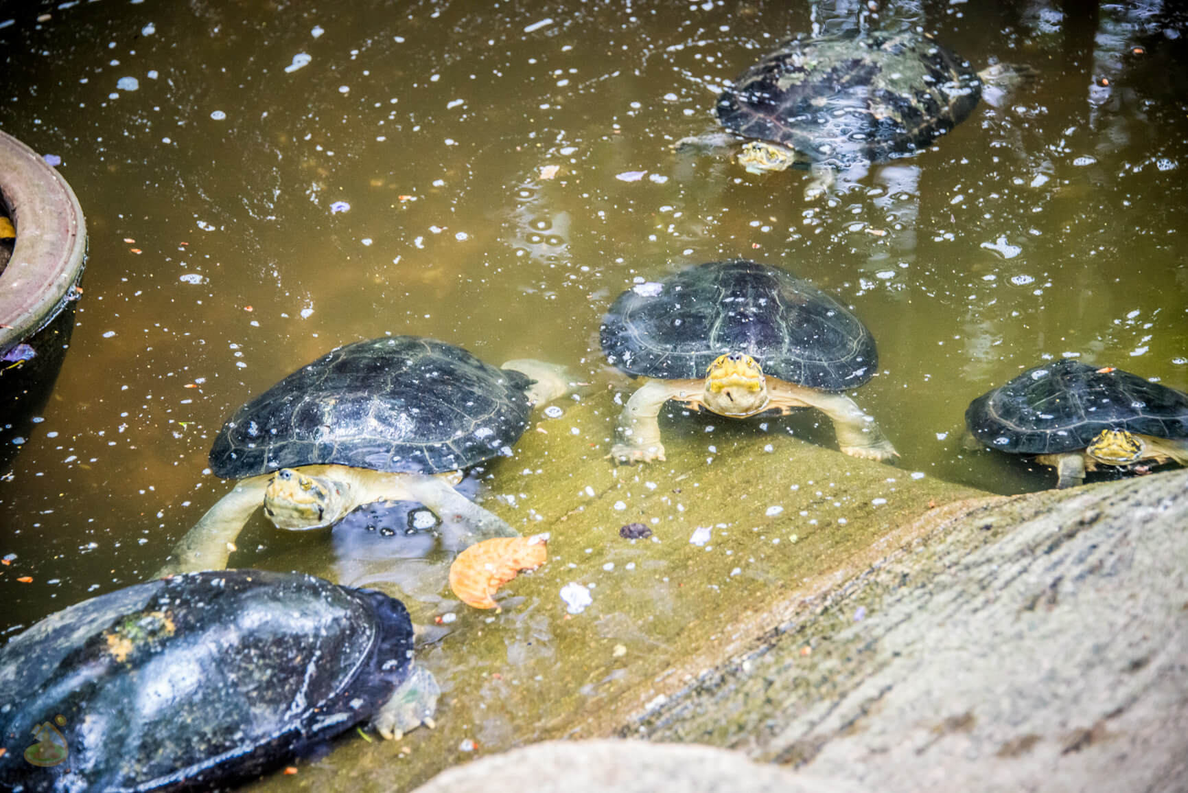 Разные черепашки в Нонг Нуч