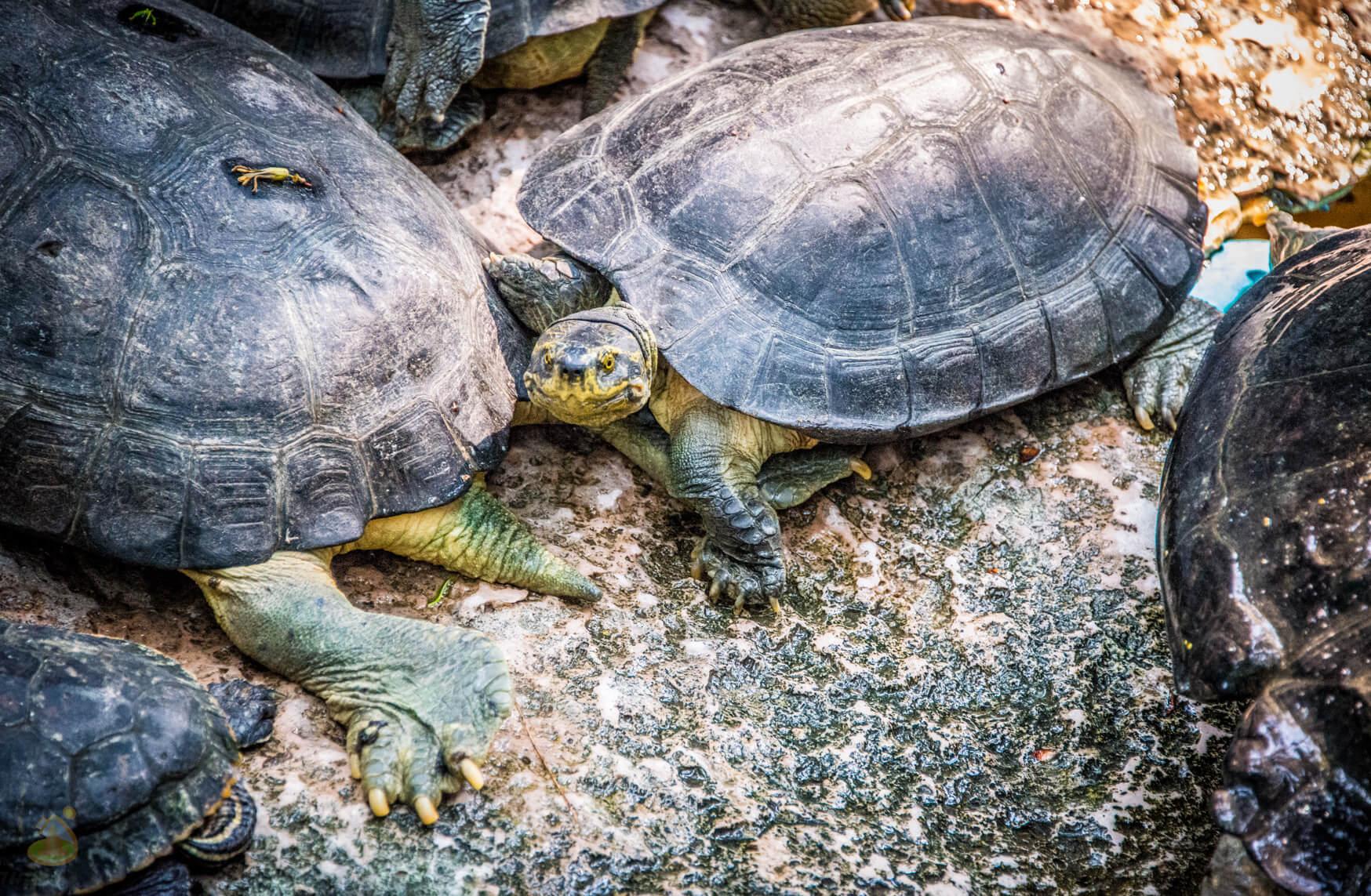 Много черепах в Нонг Нуч