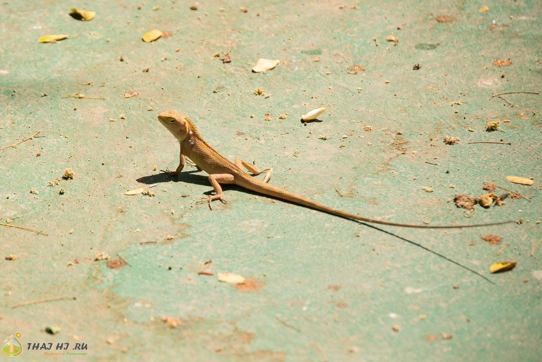Ящерицы в Таиланде