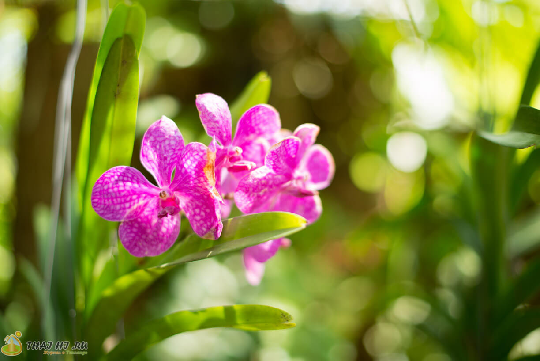Орхидеи на Пхукете
