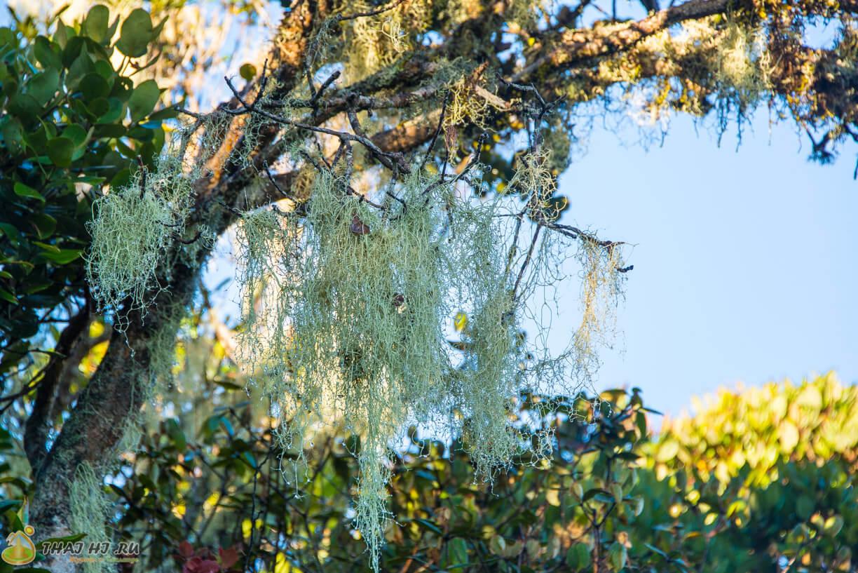 Древесный мох