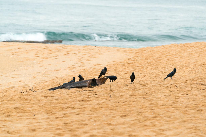 Вороны на Шри-Ланке в Тангалле