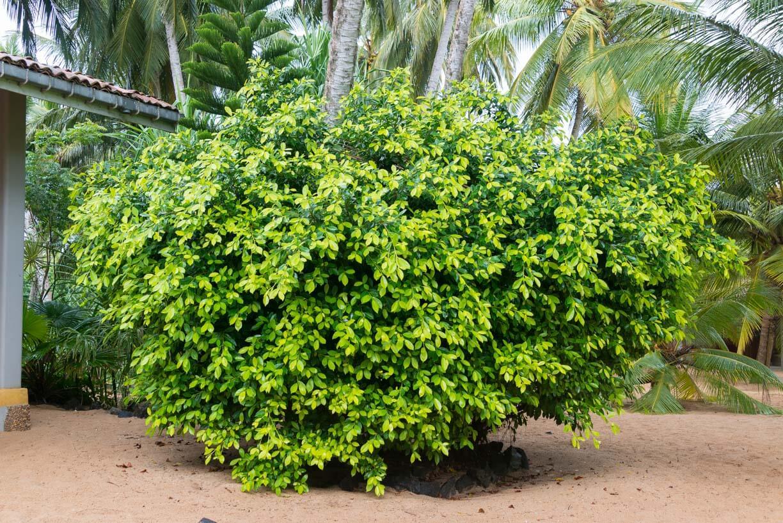 Кустарник, растения в Тангалле